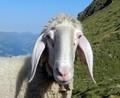 Tiroler Bergschaf Bild von Axel Mauruszat
